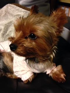 ピンクの犬用パジャマを着ておすましなヨーキーさん