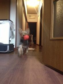 ヨークシャーテリアのクレアが我が家にやってきた!!